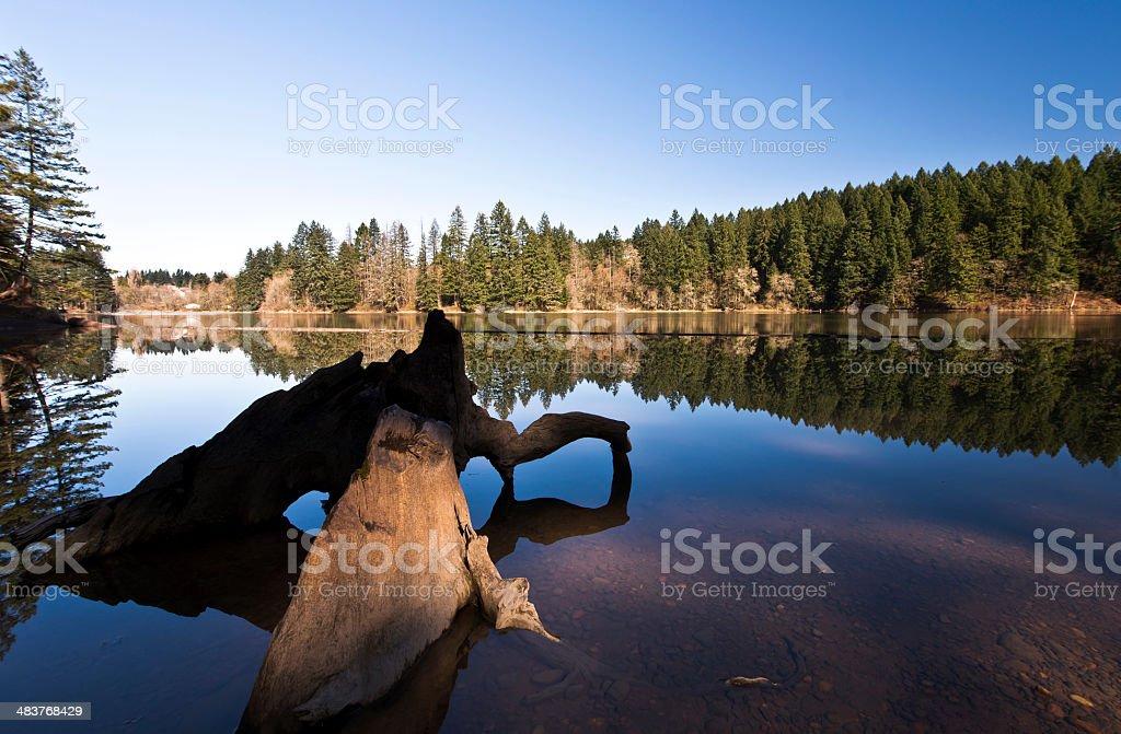 Snags on Lacamas Lake stock photo