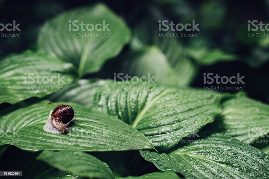 Snail after rain on a green leaf stock photo