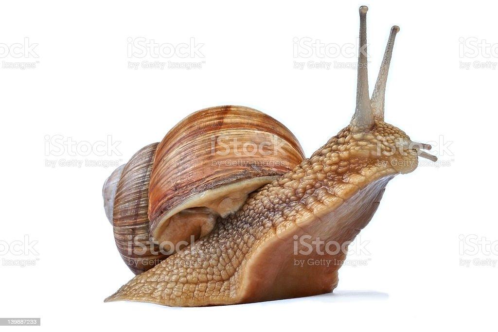 Snail against white stock photo