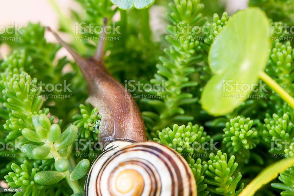 Snail and Fleshy plant stock photo