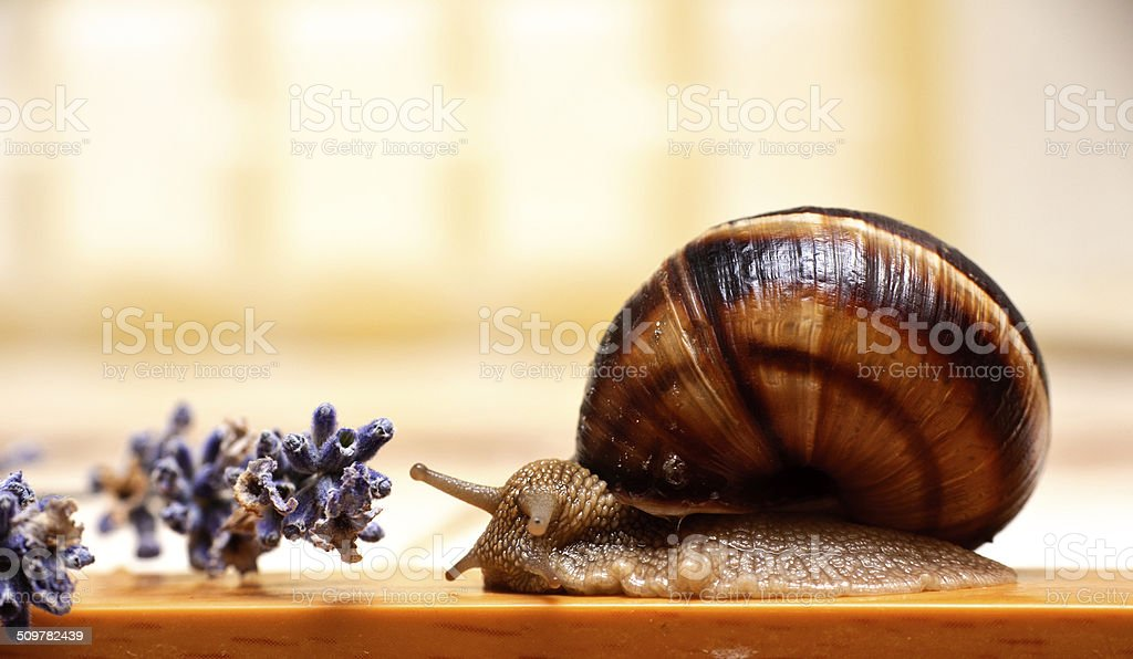 snail and lavender royalty-free stock photo