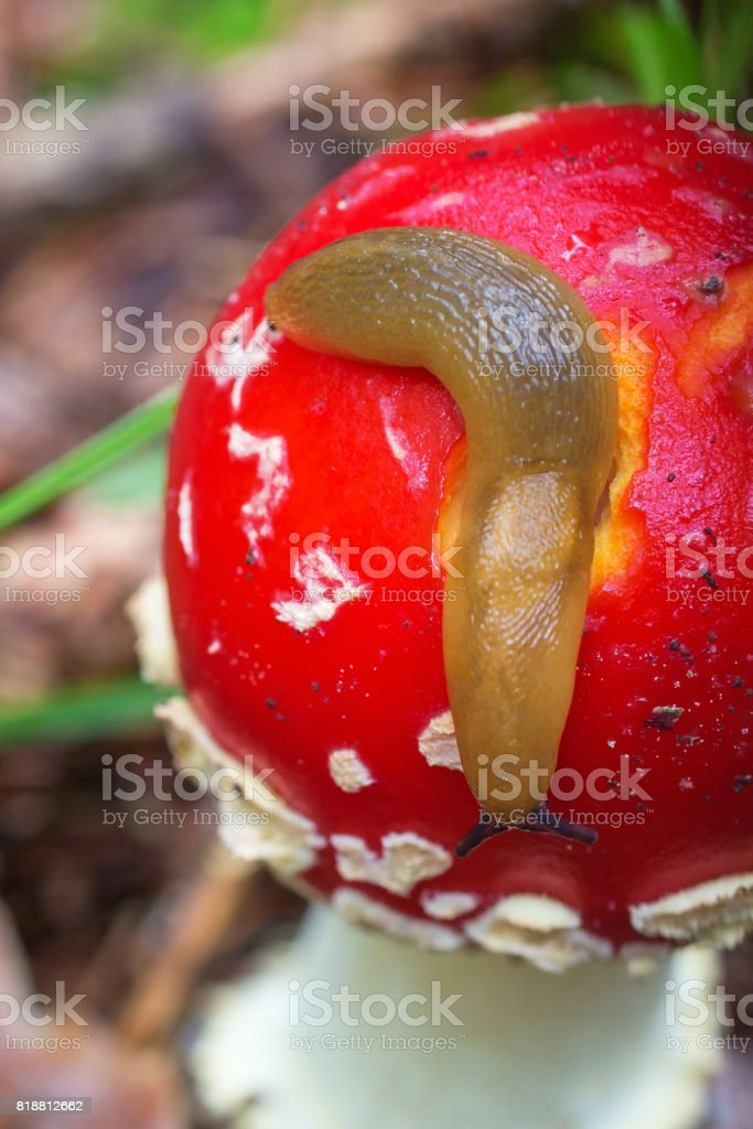Snail crawling on a toadstool stock photo