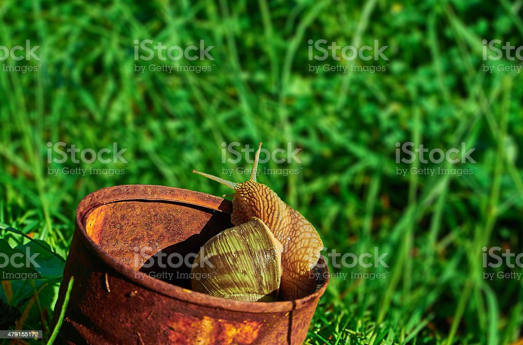 snail crawling out of a tin can royalty-free stock photo