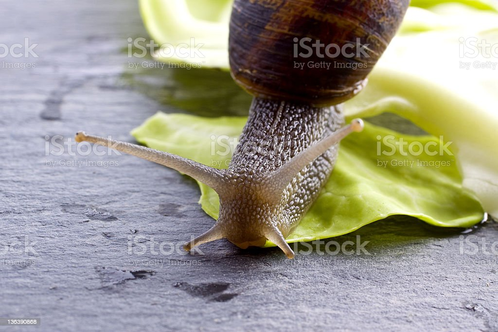 Snail Eating royalty-free stock photo