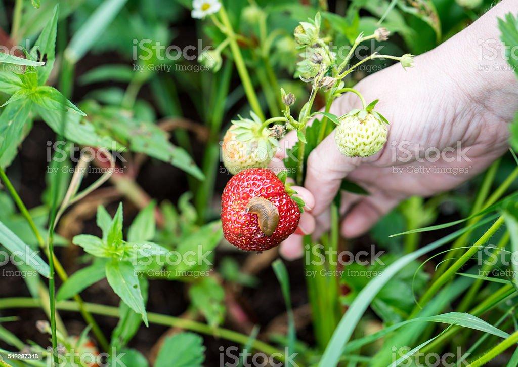 snail eats the strawberry stock photo