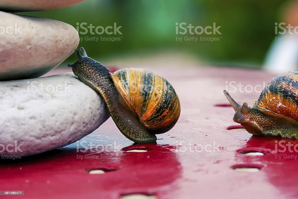 snail encouraged to climb by its congener royalty-free stock photo