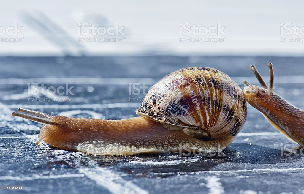 snail finish encouraged by its congener royalty-free stock photo
