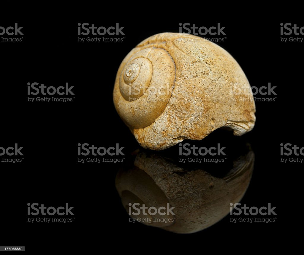 Snail fossil isolated on black background. stock photo