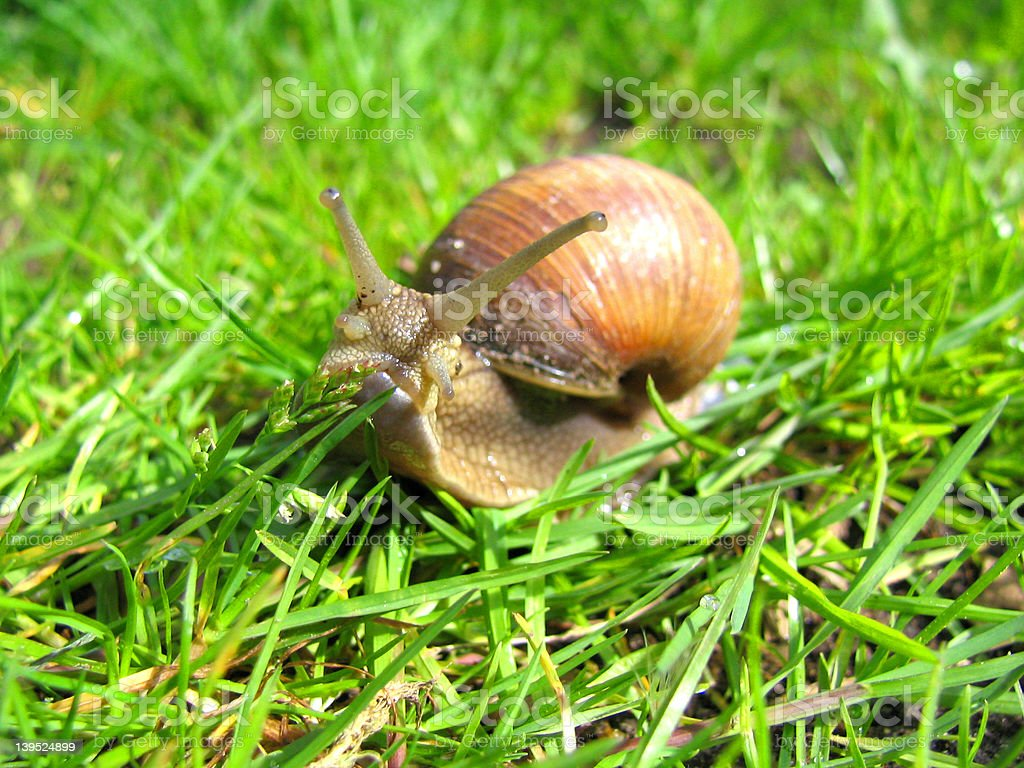 Snail front close-up stock photo