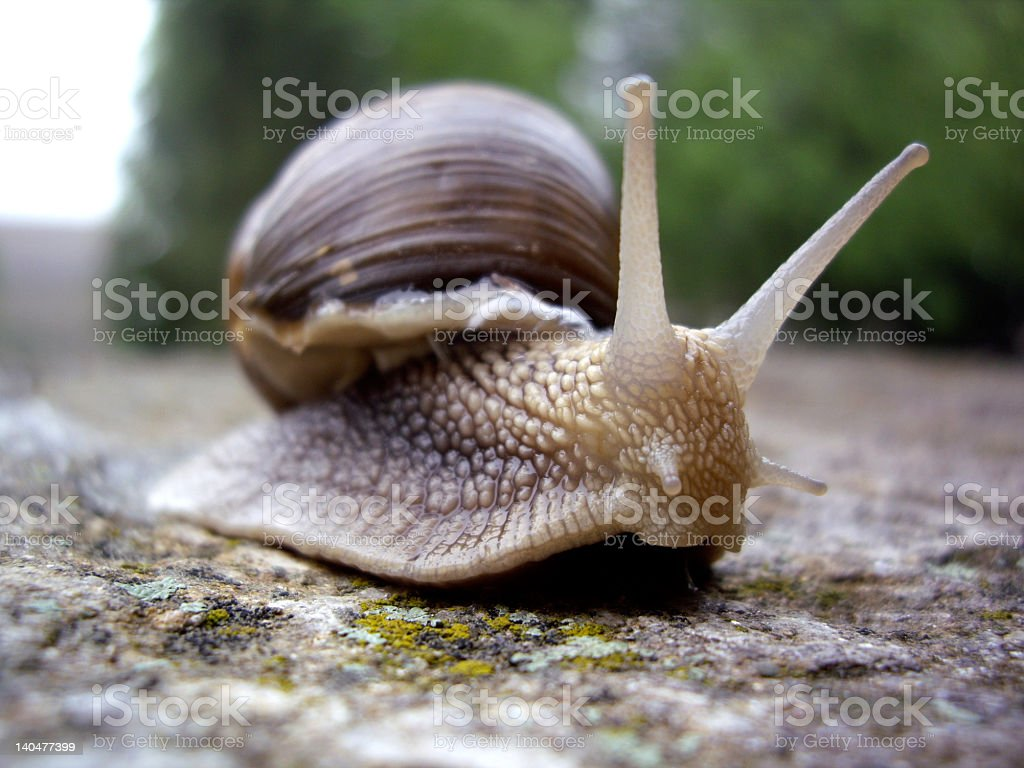 Snail in focus on the rock with trees blurred in background royalty-free stock photo
