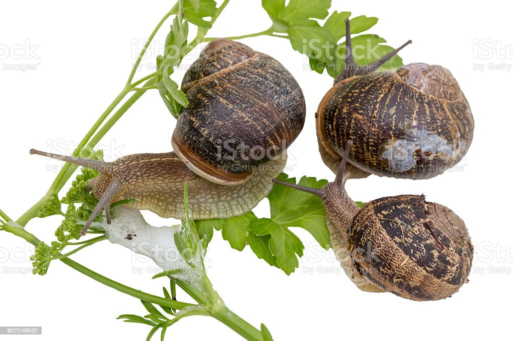 Snail in garden eating a green leaf on white background. stock photo