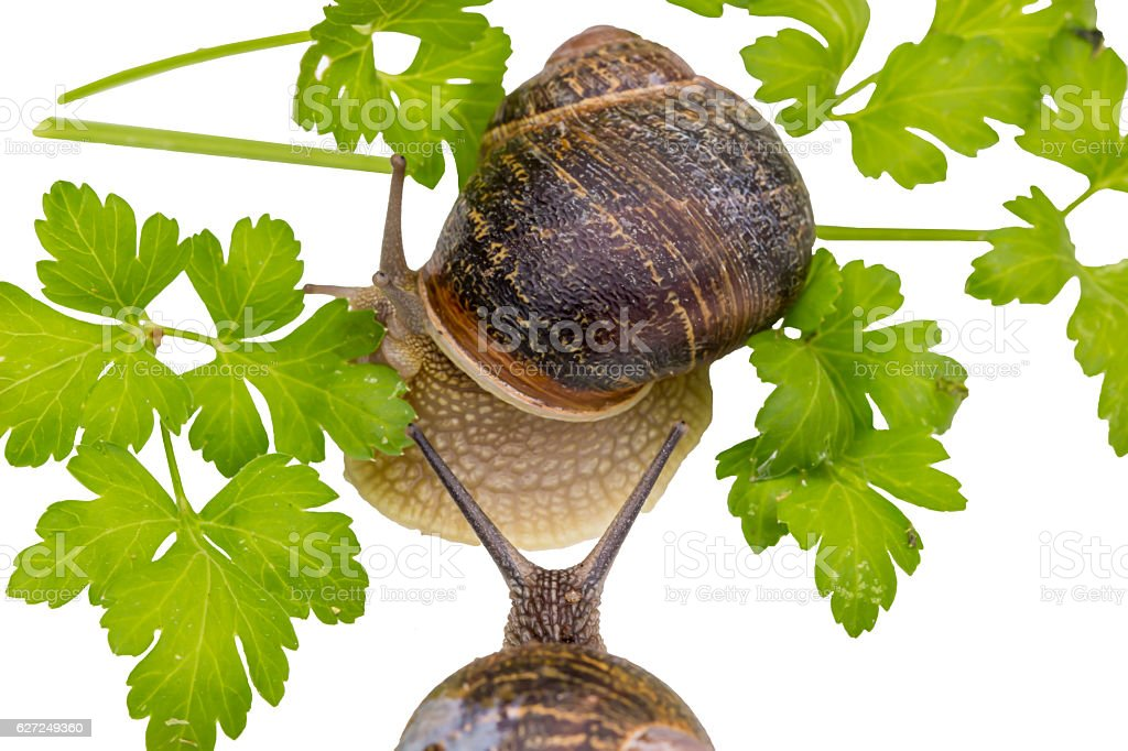 Snail in garden eating green leaf on white background. stock photo
