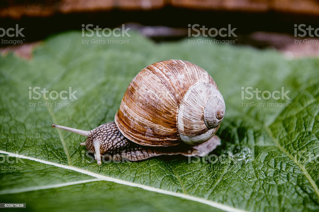 snail in the garden on green leaf stock photo