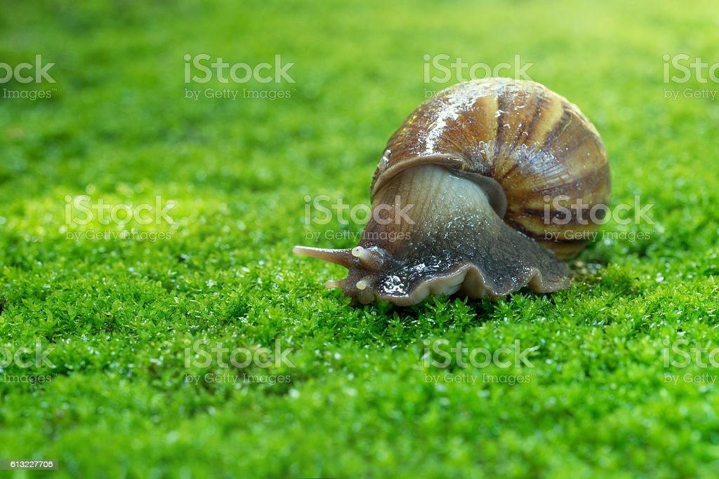 snail in the garden on the mos stock photo