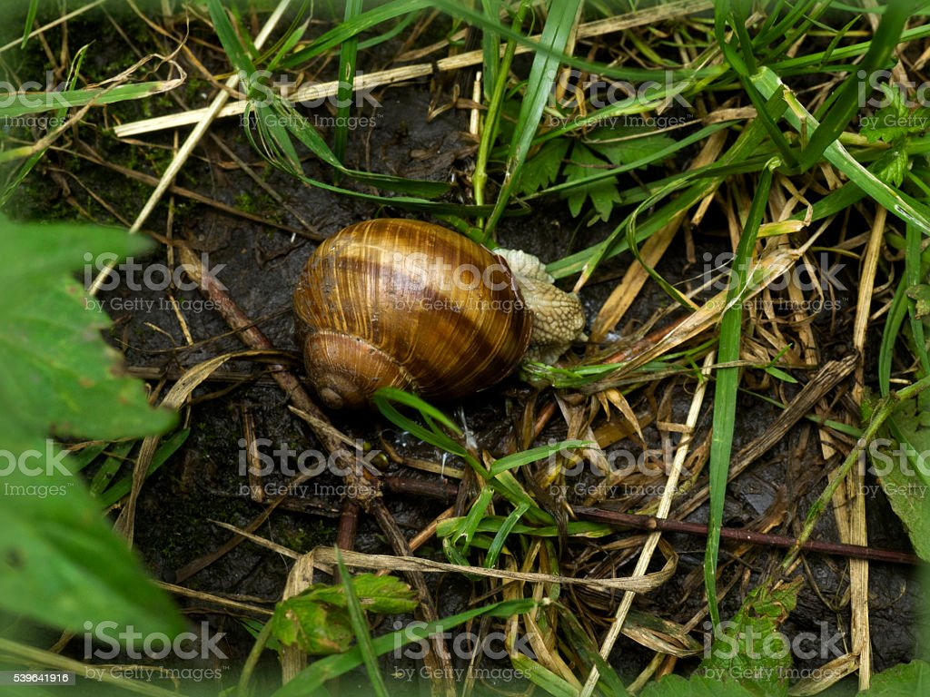 snail in the grass stock photo