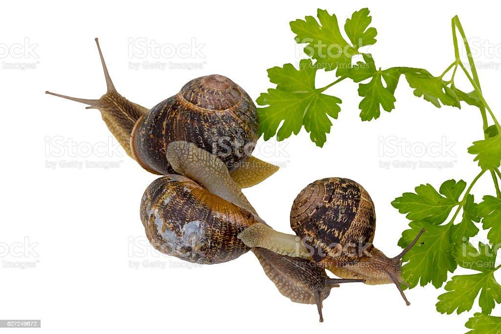 Snail invasion in the garden. stock photo