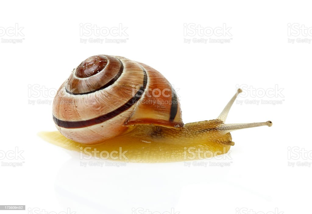 snail isolated on white royalty-free stock photo