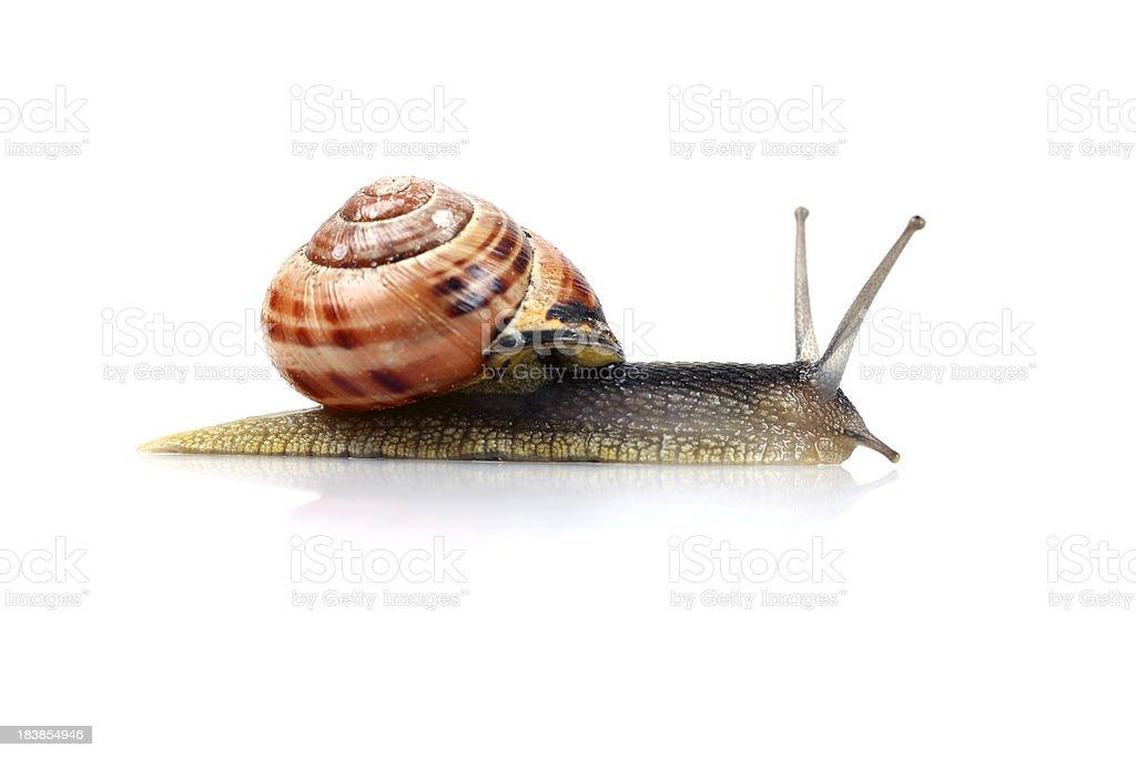 Snail, Isolated on White stock photo