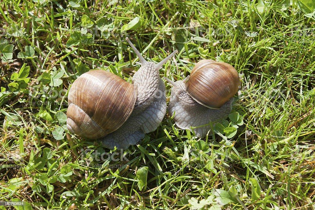 Snail Love - Taking their Time (XXXL) stock photo