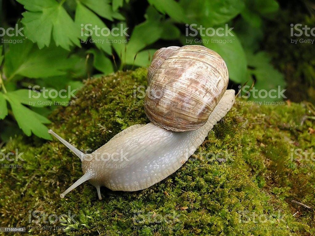 Snail macro royalty-free stock photo