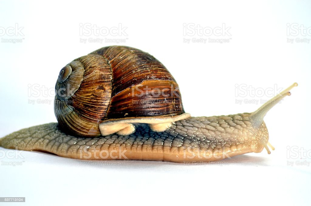 Snail of the race of the big persons gris. stock photo