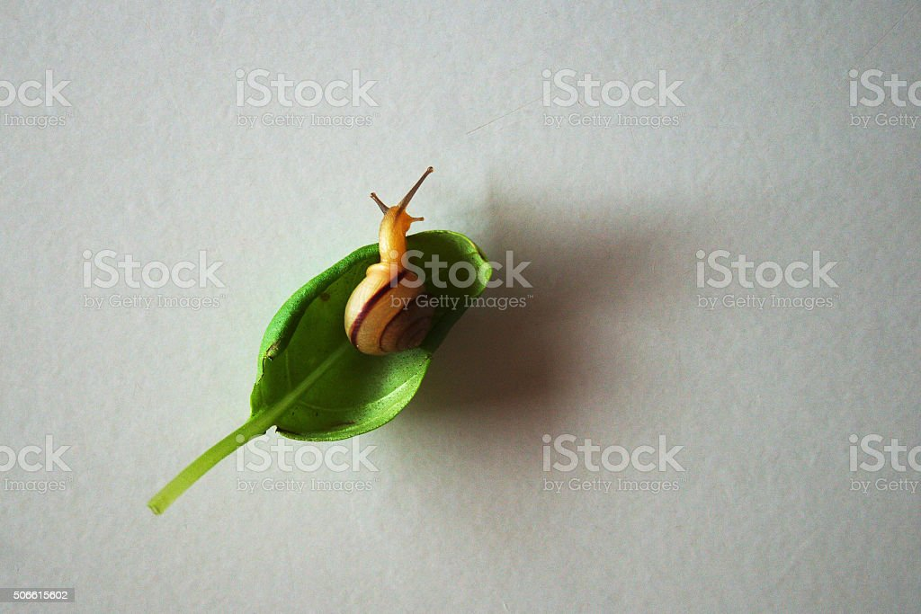 Snail on a basil stock photo