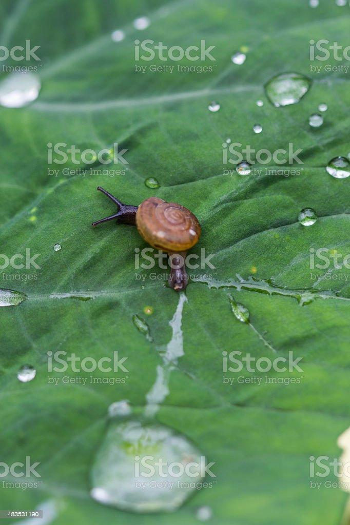 snail on a leaf stock photo