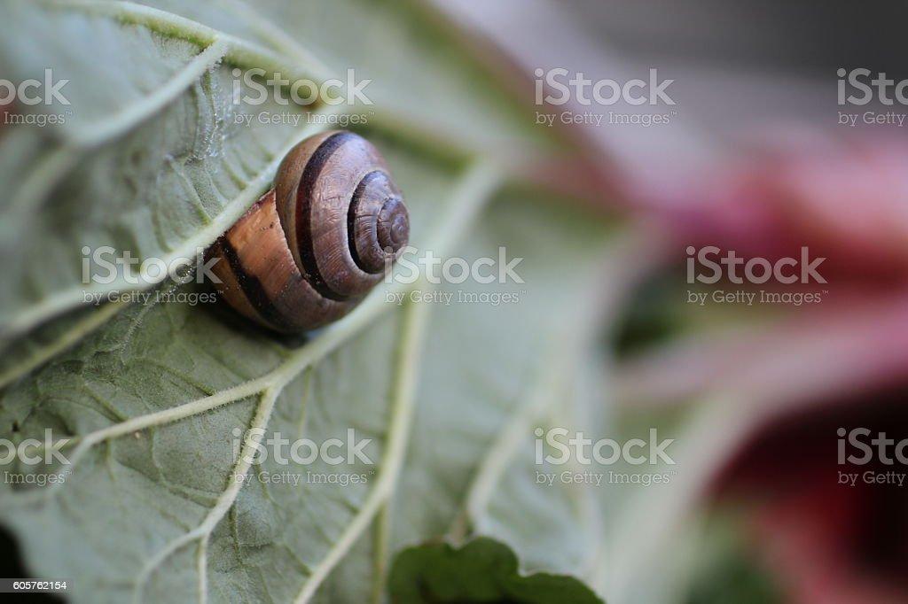 Snail On A Rhubarb Leaf stock photo
