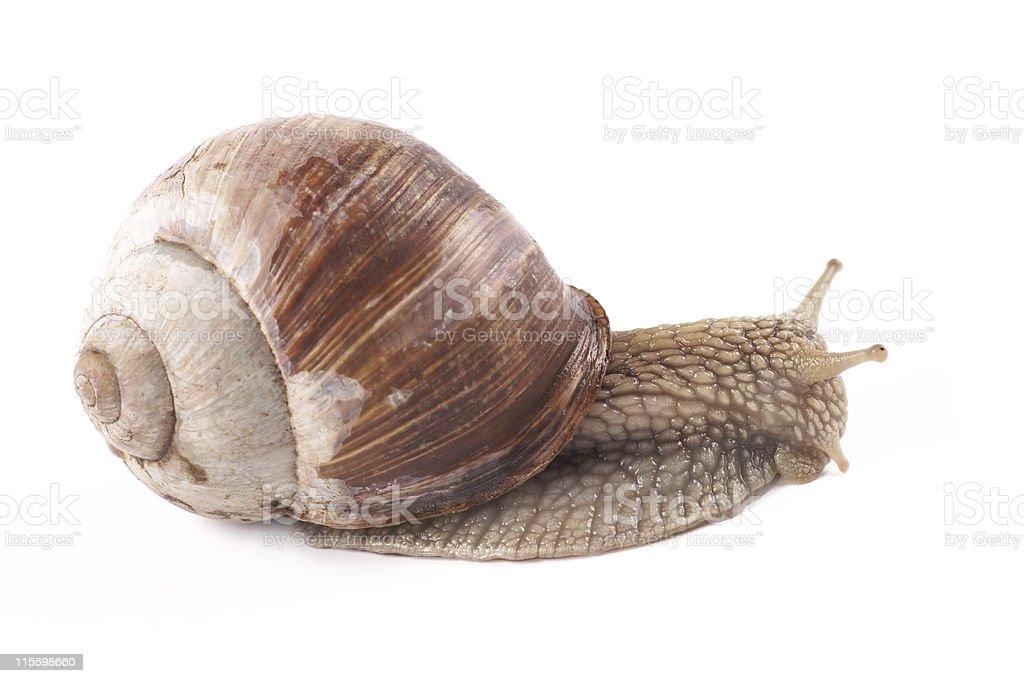 Snail (Helix pomatia) on a white background stock photo