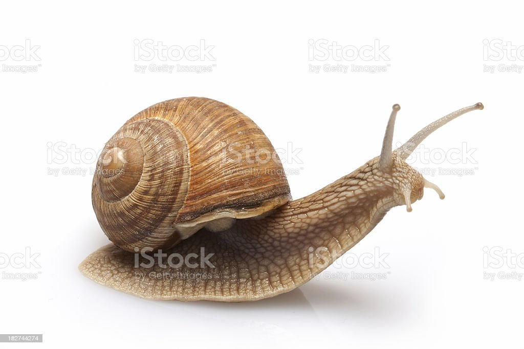 Snail on a white background. stock photo