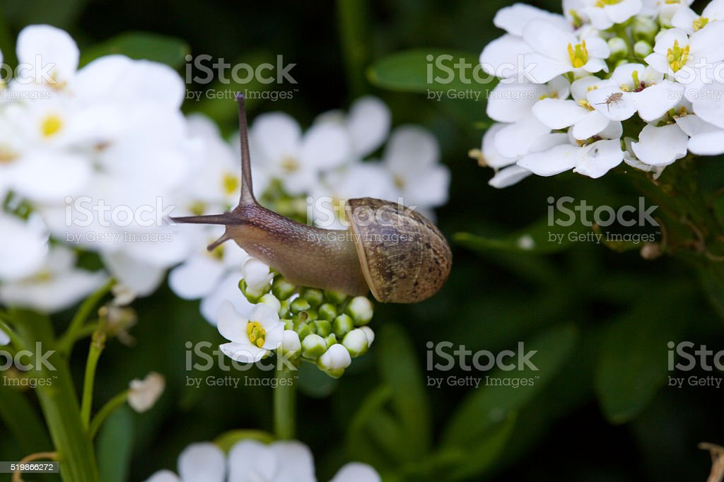 snail on a white flower stock photo