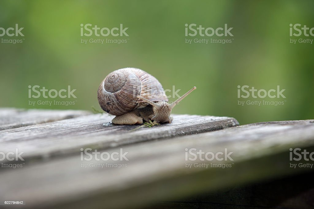 Snail on a wooden board stock photo
