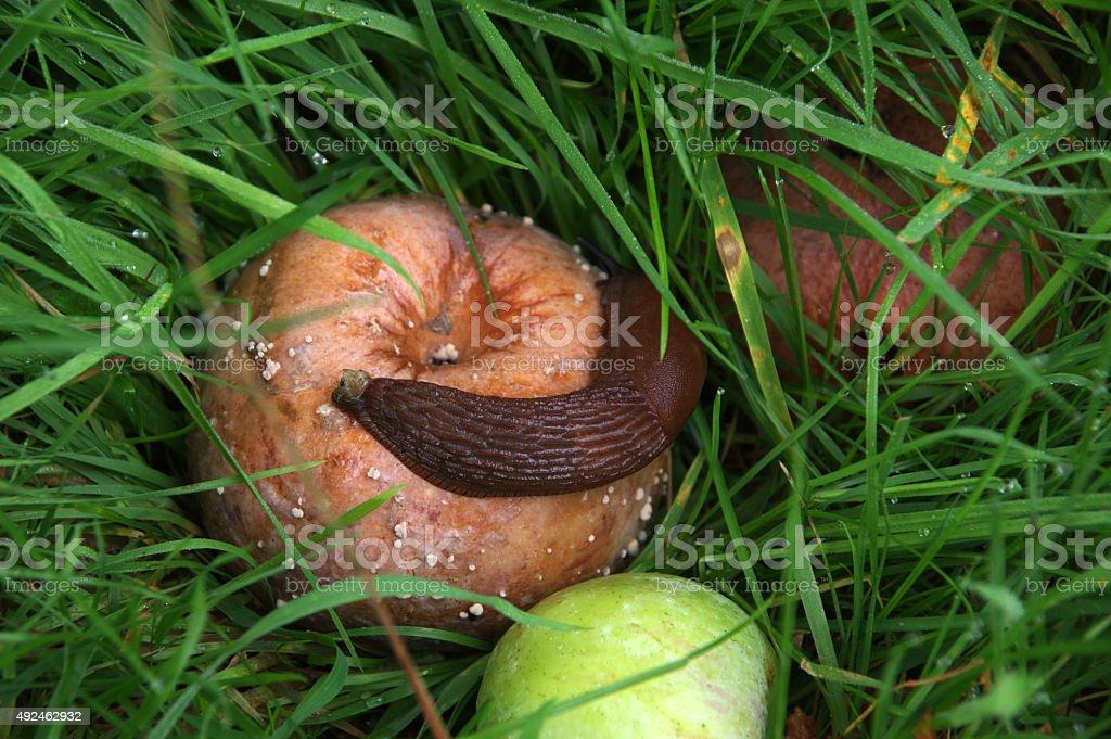 Snail on apple stock photo