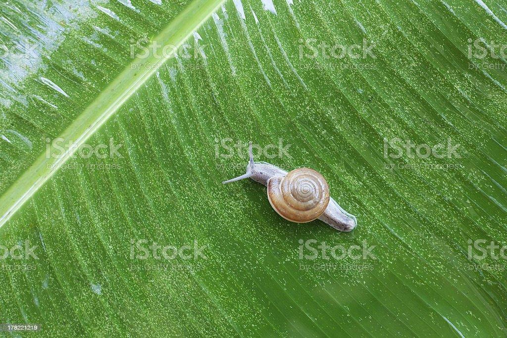 Snail on banana palm green leaf royalty-free stock photo