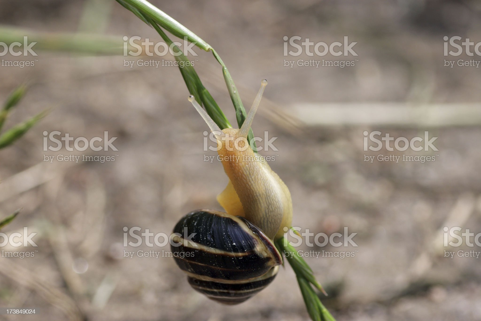 Snail on blade of grass royalty-free stock photo