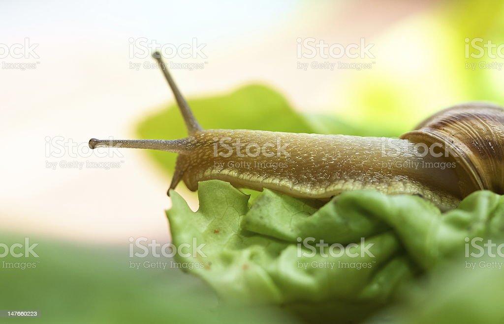 Snail on lettuce royalty-free stock photo