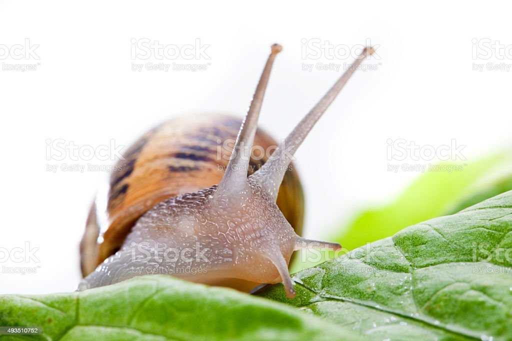 Snail on lettuce stock photo