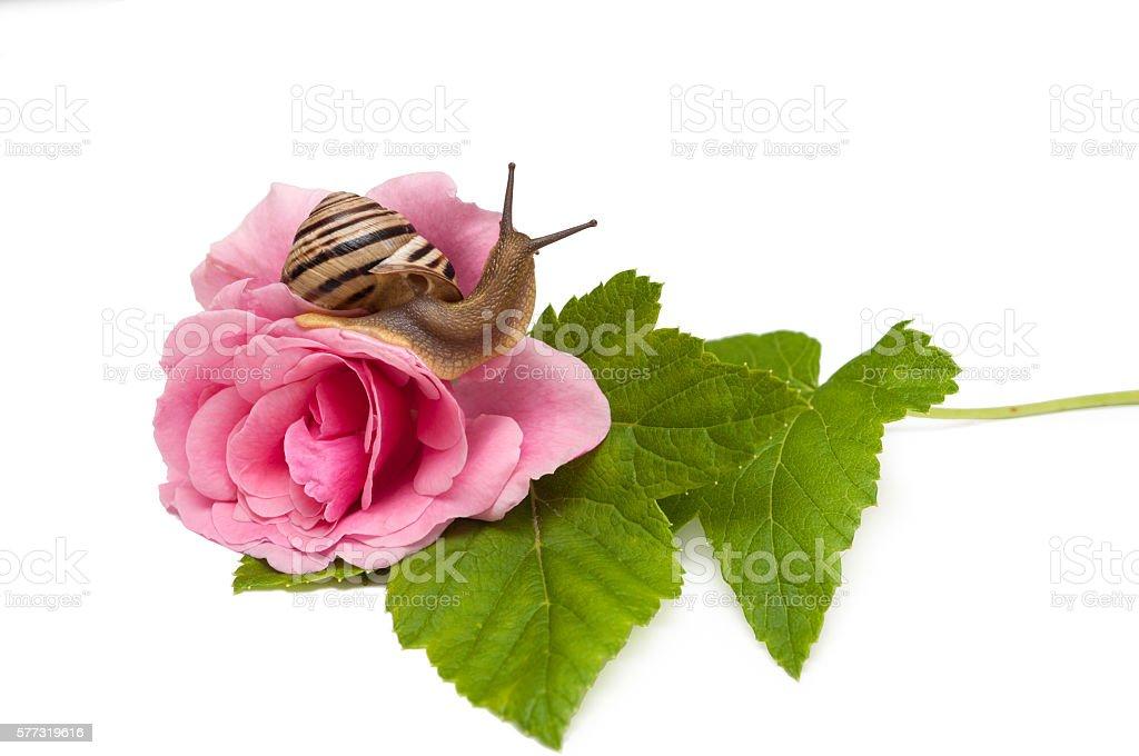 snail on rose. isolated on white background stock photo