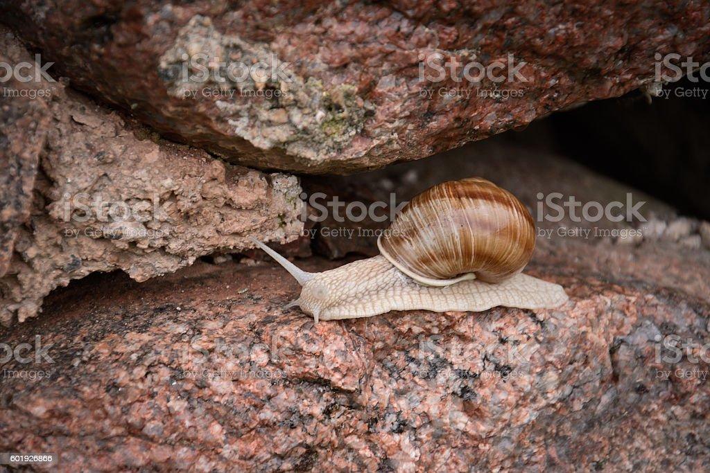 snail on stone stock photo