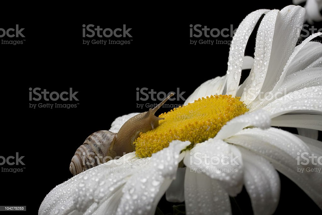 snail on the chamomile royalty-free stock photo