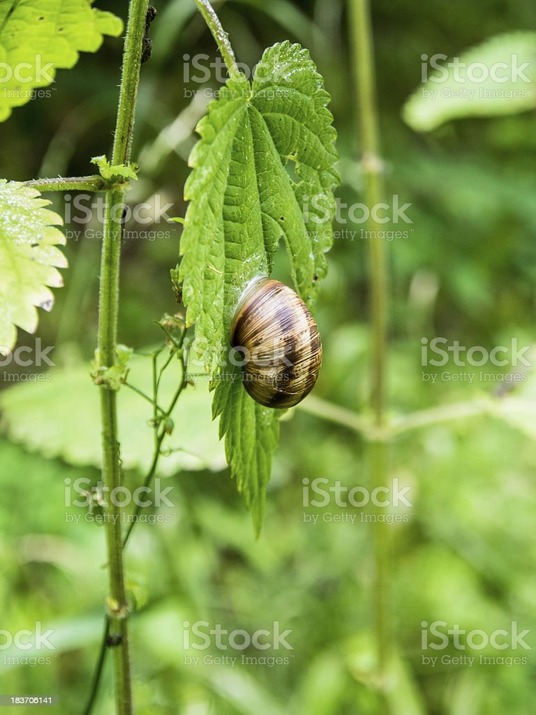 Snail on the green leaf royalty-free stock photo