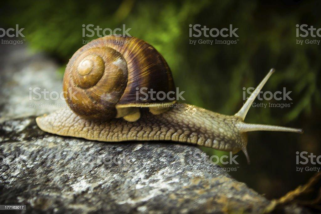 Snail on the stone royalty-free stock photo