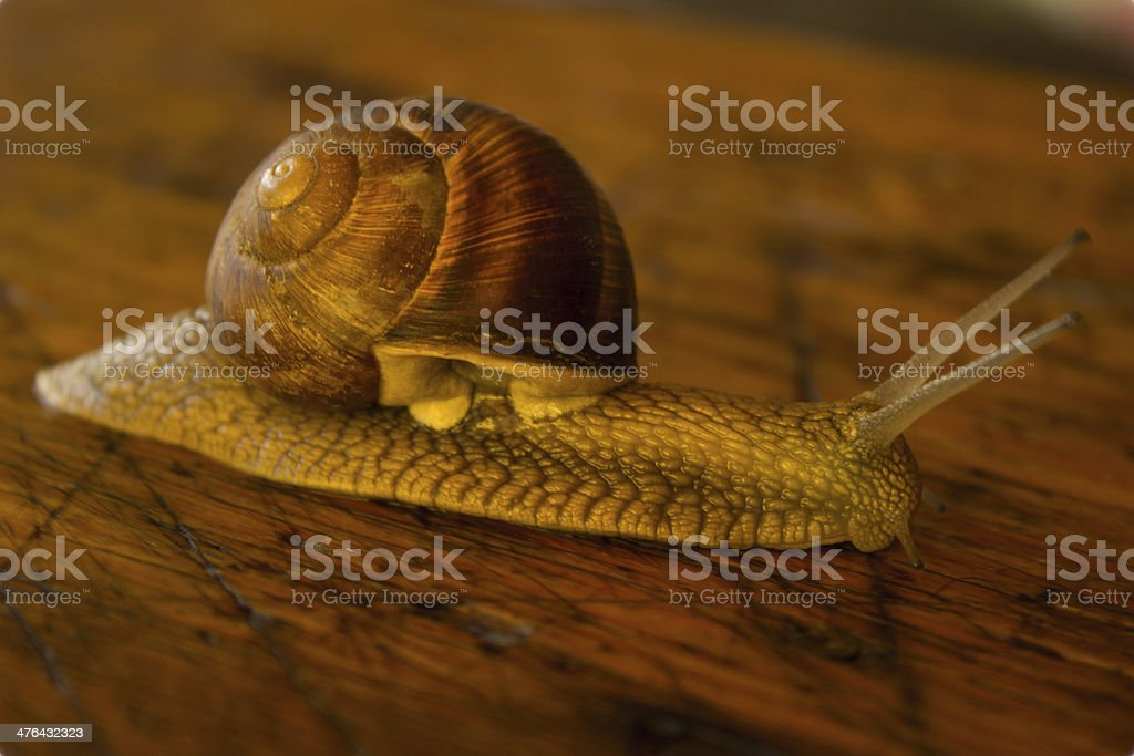 Snail on the wooden table royalty-free stock photo