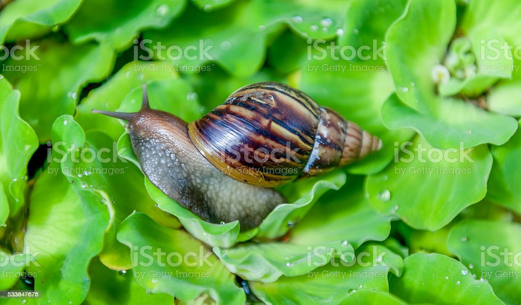 snail on waterleafs stock photo