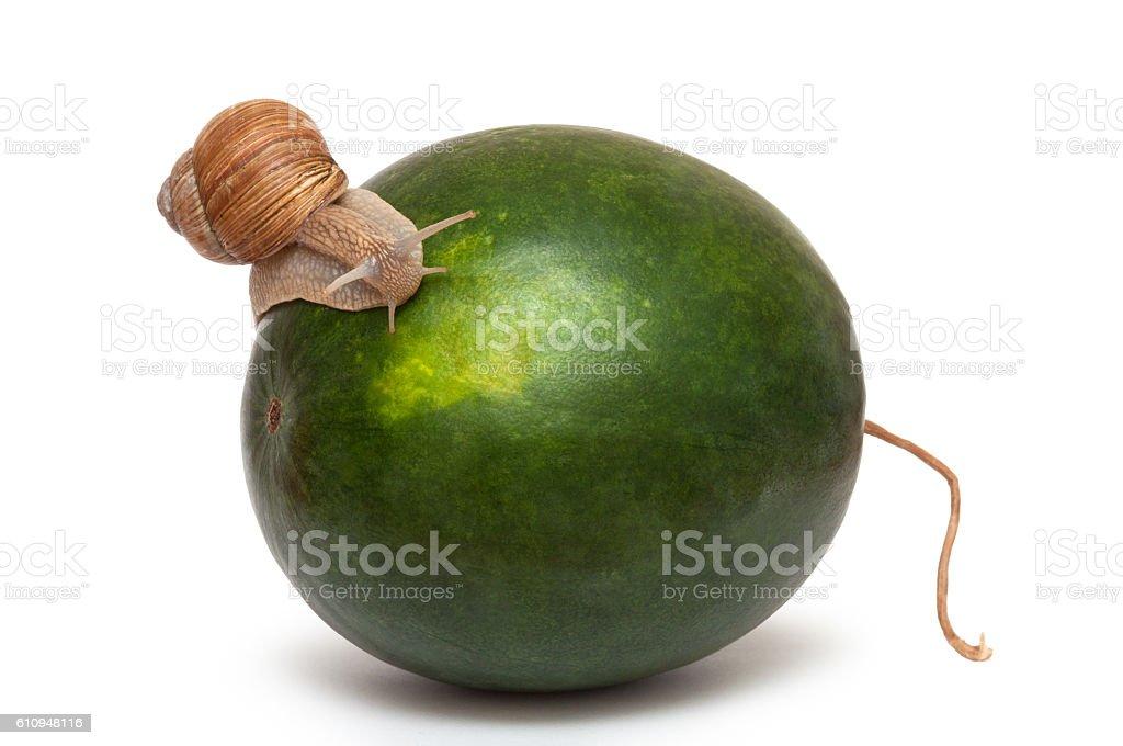 snail on watermelon. Helix pomatia. stock photo