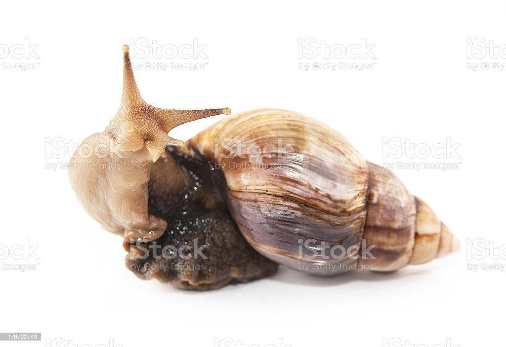 snail on white background royalty-free stock photo