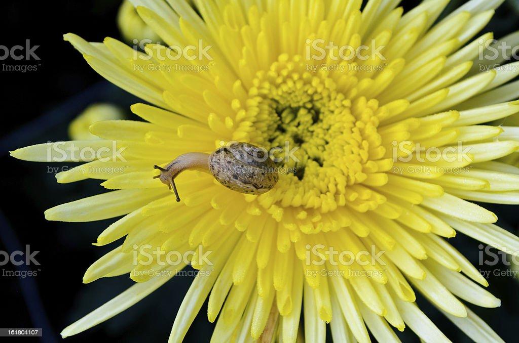 Snail on yellow chrysanthemum royalty-free stock photo