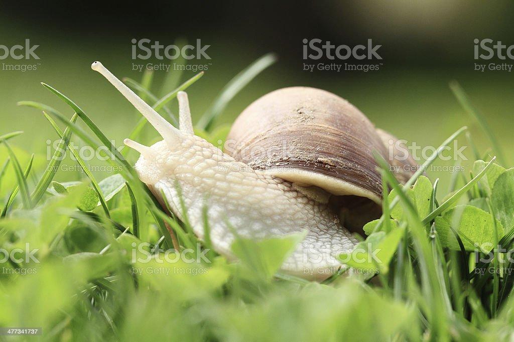 Snail (Helix pomatia) stock photo