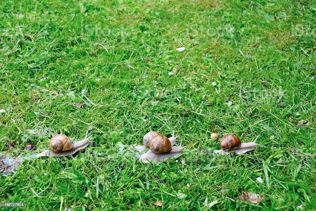 Snail race on the lawn, Helix pomatia stock photo