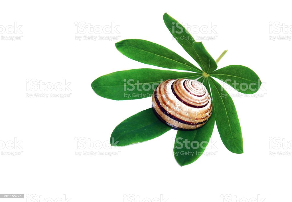 Snail shell on a green leaf isolated stock photo